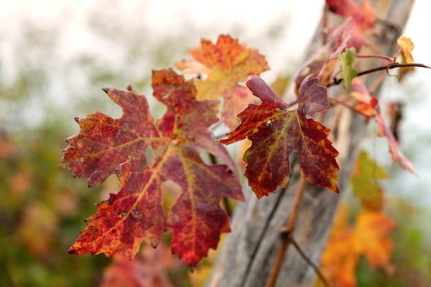 Крупный план и пейзаж винодельческого региона бароло