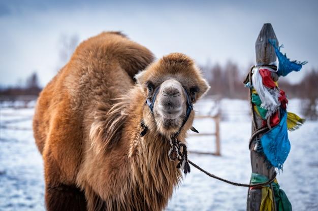 シベリアのラクダ男性