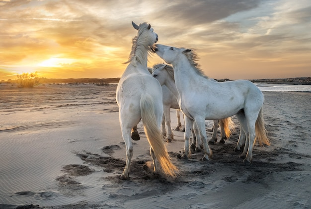 Белые лошади на пляже
