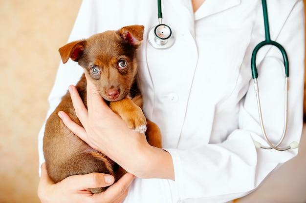 かわいい犬を調べる獣医