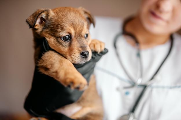 獣医は病院で子犬を調べます。小さな犬は病気になりました。獣医師の手に子犬。
