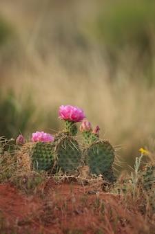ウチワサボテン春の砂漠