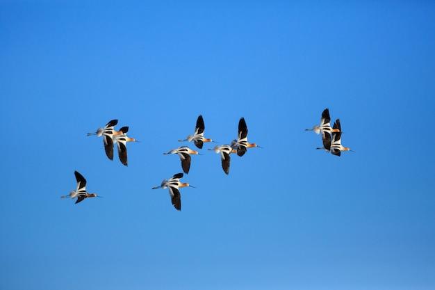 飛行中のアメリカのソリハシセイタカシギ