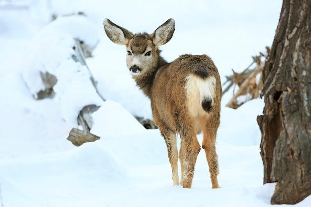 ザイオン国立公園ユタの子鹿