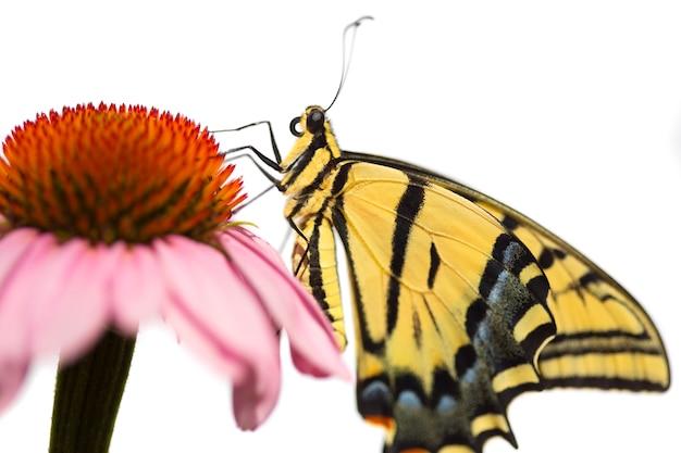 エキナセアの花にアゲハチョウ