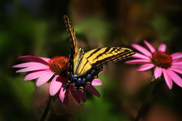 庭のアゲハチョウ