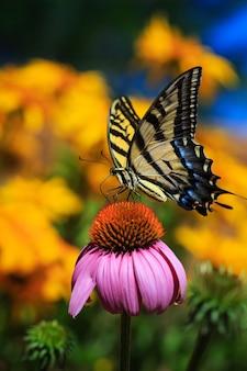 庭の蝶とエキナセアの花