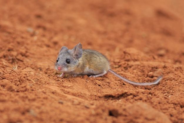 ユタ州砂漠のカンガルーマウス
