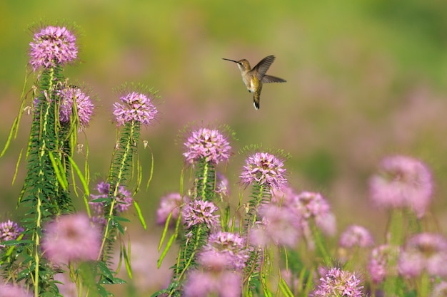 Колибри и полевые цветы