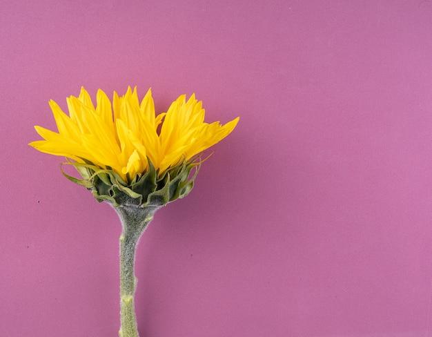 明るい紫色の背景に美しい大きな、黄色のヒマワリの花クローズアップ。