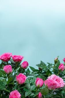 明るい青の背景に露の滴のふさふさした美しい淡いピンクのバラ。閉じる。