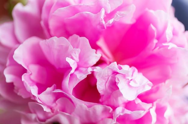 Мягкий цветочный розовый. макро размытие цветка. розовый пион