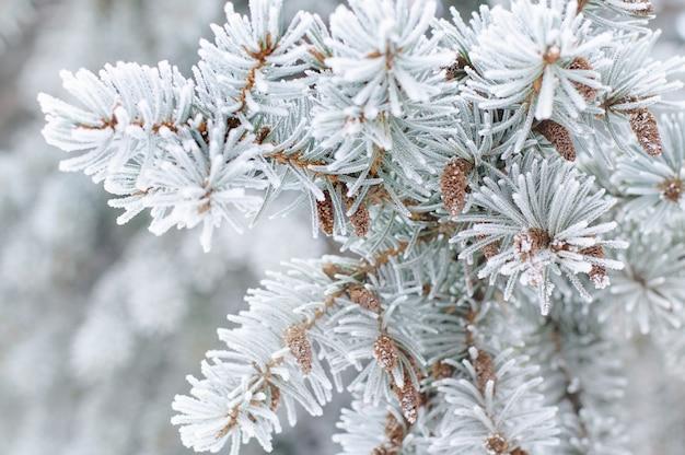 雪の中でモミの木の枝のクローズアップ