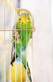 Попугаи волнистые в клетке