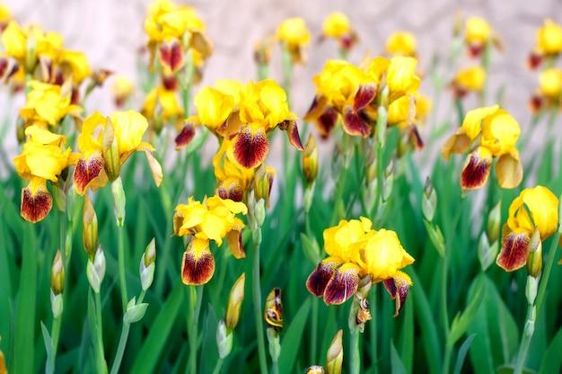 春の庭のアイリスの花