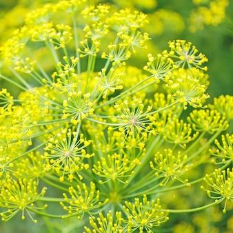 Укроп цветы растения