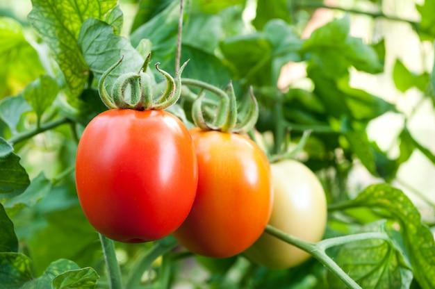 赤と緑のトマトが小枝に生える