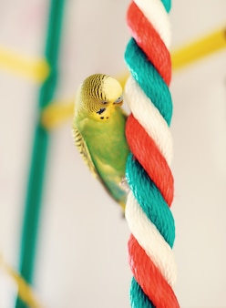 面白いセキセイインコ。ロープの上に座ってバッジーオウム