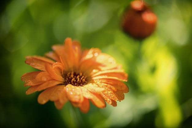 Яркое лето с растущими цветами календулы,