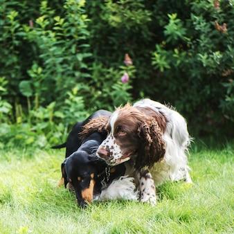 面白い若い犬が英語のスプリンガースパニエルとダックスフントを繁殖させ、夏の自然の中で一緒に遊ぶ