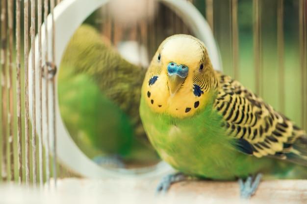 Зеленый попугай волнистый попугайчик крупным планом сидит в клетке. милый зеленый волнистый попугайчик