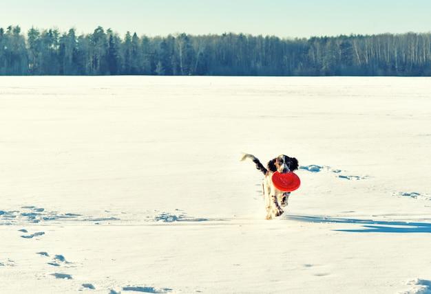 雪原のフライングディスクで遊ぶ若いハンター犬
