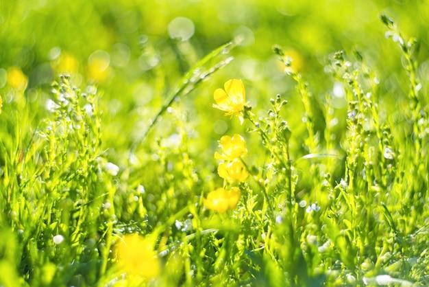 抽象的な緑の新鮮な草と抽象的なぼやけた葉と明るい夏の日差しのある野生の小さな黄色い花のフィールド
