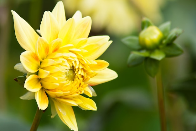 庭の黄色のダリア