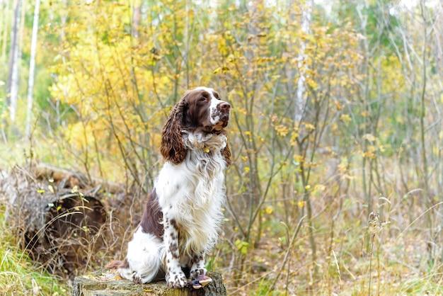犬の品種イングリッシュスプリンガースパニエル秋の森を歩くかわいいペットが屋外の自然の中に座っています。