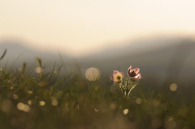 日没の春の岩に咲くオキナグサの花。