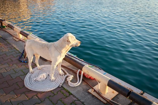 美しい白い犬が桟橋に立って、その所有者を待っています