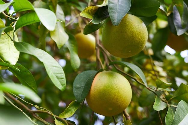 Незрелые мандарины, которые стали оранжевыми, висят на ветке в саду
