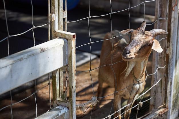 Коричневый козел выглядывает из проволочной клетки в надежде сбежать