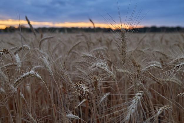 熟した小麦の美しい小穂は日没で夕方にフィールドで育ちます
