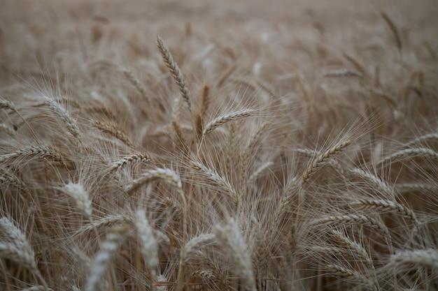 熟した小麦の美しい小穂がフィールドで育つ