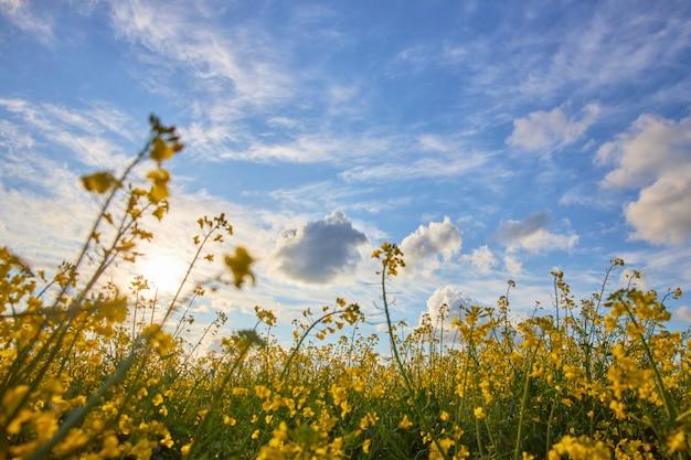 青い曇り空を背景に咲く菜種の美しいフィールド