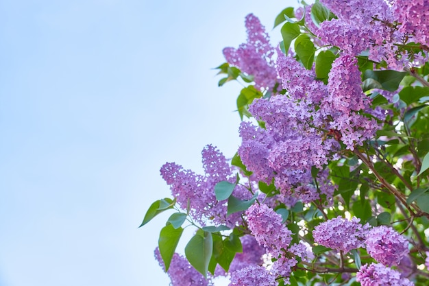 コピースペース、青い空を背景に美しい咲くライラック