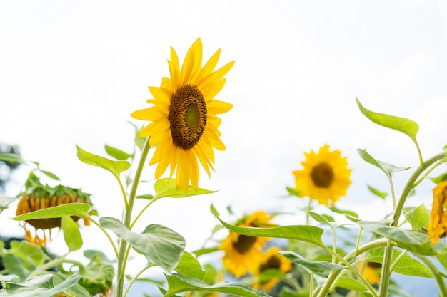 庭の美しい大きな太陽の花をクローズアップ。
