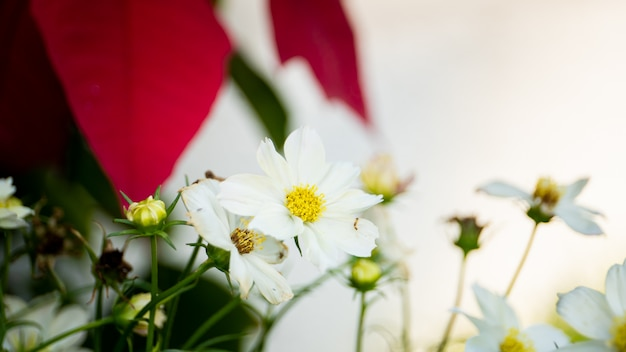 Красивые белые дикие цветы космос в саду