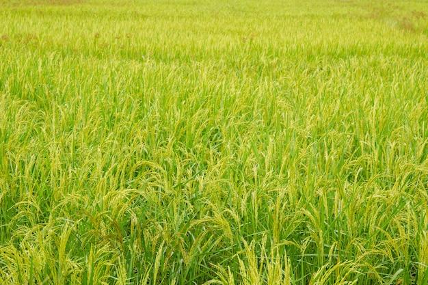 タイのジャスミンライスの美しい耳をクローズアップ。