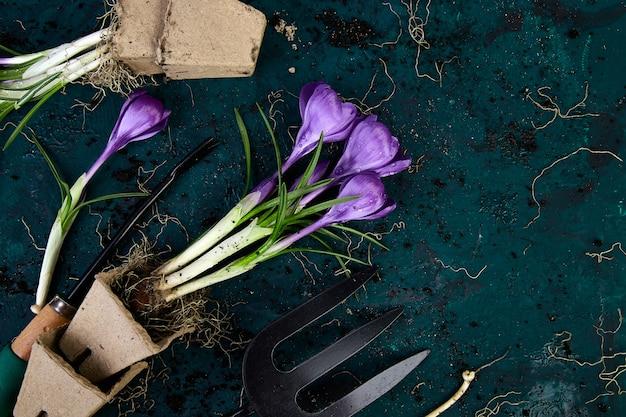 ガーデニングツール、泥炭ポット、クロッカスの花。春