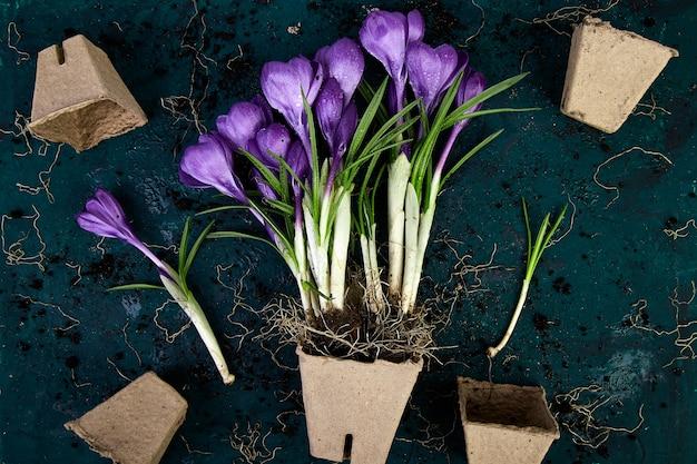 園芸。泥炭ポット、クロッカスの花、苗。春