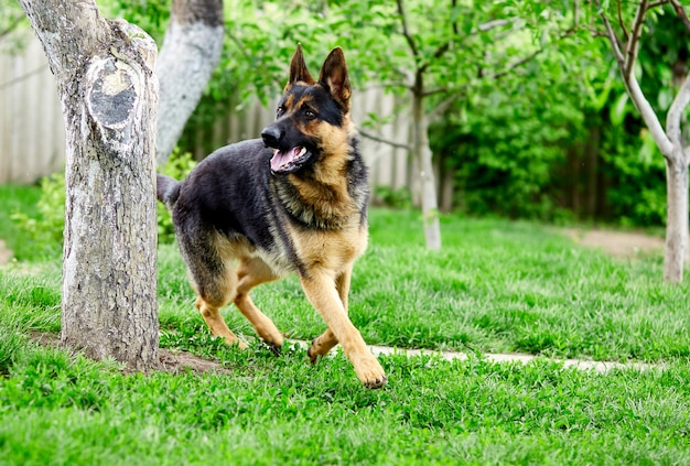 公園の芝生の上に横たわっているジャーマン・シェパード