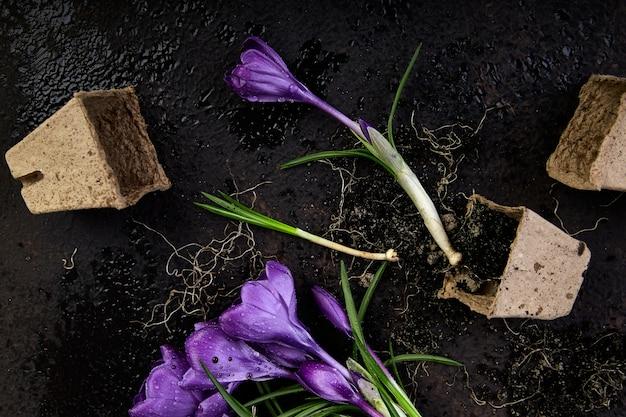 園芸。泥炭ポット、クロッカスの花、若い苗。春