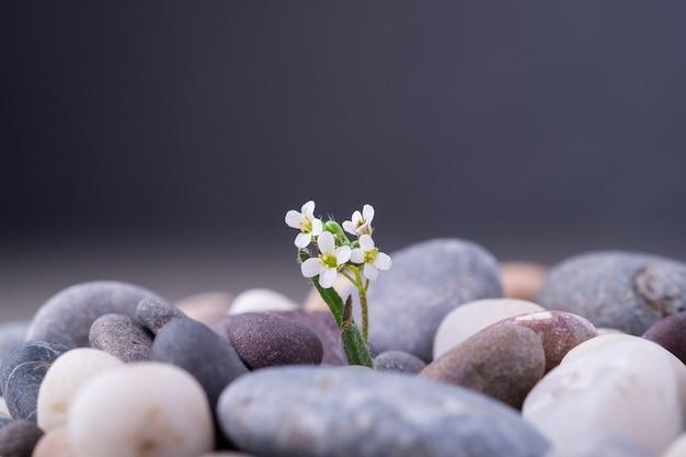 小さな白い花と小石