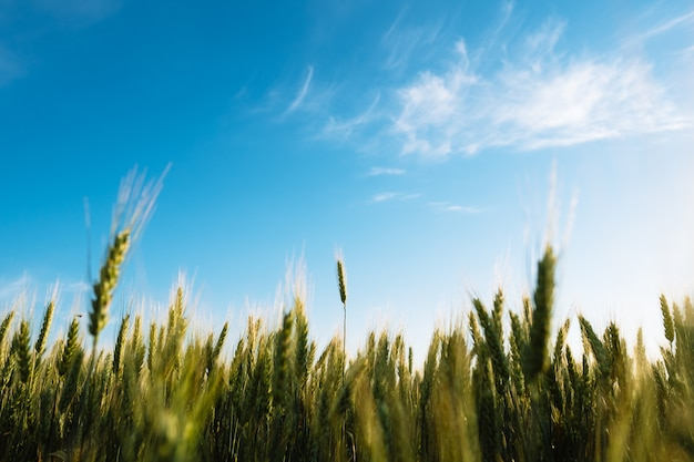 小麦の小穂は青い空と農場農業分野を閉じる
