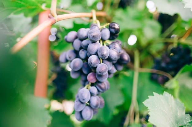 Виноградные ягоды крупным планом с листьями