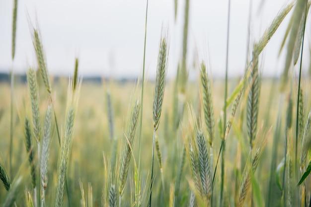 フィールドのライ麦の緑の耳