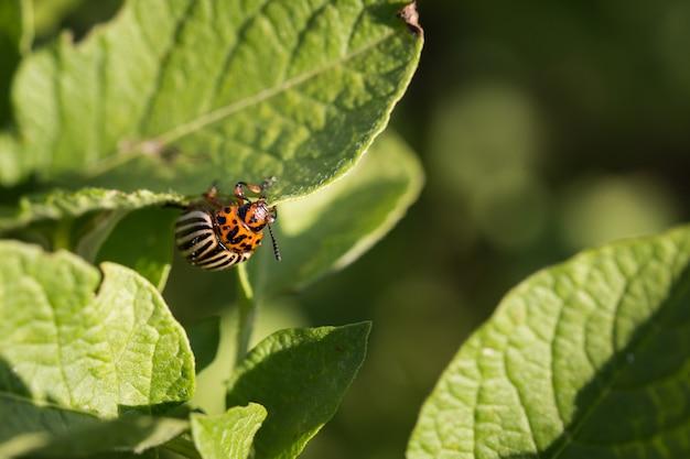 Колорадский жук на зеленом листе крупным планом