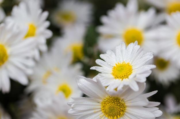 カモミールの花のフィールドの背景に露の滴。